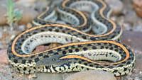 Veneno de serpente rara pode virar analgésico