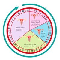 Calendario Fertil.Periodo Fertil Como Calcular A Data Da Ovulacao