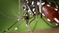 Dengue, zika e chikungunya mataram 794