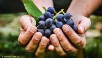 Substância da uva reduz crescimento de tumores