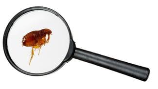 sintomas da picada de pulga