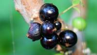 Casca de jabuticaba pode prevenir diabetes